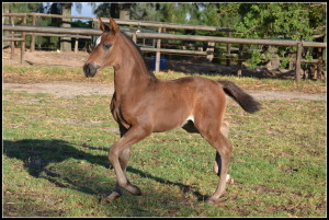 Dina's 2013 foal legacy's Faberge by Dageraad Fenix